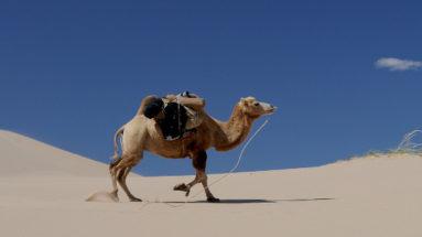 cammello e meditazione